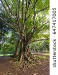 large tree in mauritius ssr... | Shutterstock . vector #647417005