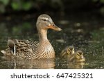 Duck Family With Duck Chicks