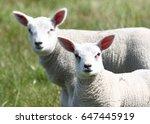 duo portrait of two lambkins in ... | Shutterstock . vector #647445919