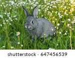 Stock photo gray rabbit on the meadow gray rabbit chinchilla rabbits 647456539