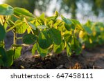 agricultural soy plantation on ...   Shutterstock . vector #647458111