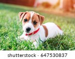 Stock photo jack russel puppy on green lawn 647530837