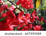 blooming japanese quince | Shutterstock . vector #647595589