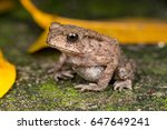 Small photo of Small brown Asian common Toad (Chordata: Amphibia: Anura: Bufonidae: Duttaphrynus melanostictus) with bumpy skin, sit down and stay still on the ground during the night isolated with dark background