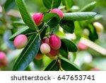 "thai fruit ""carandas plum"" in... | Shutterstock . vector #647653741"