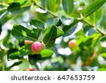 "thai fruit ""carandas plum"" in... | Shutterstock . vector #647653759"