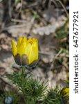 Small photo of Pheasants Eye (Adonis vernalis) Koktebel, Crimea