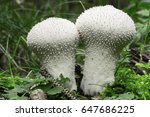 Common Puffball  In Pine Fores...
