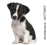 Stock photo jack russell terrier puppy months old sitting in front of white background 64773097