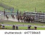 siberian stag  maral   breeding ... | Shutterstock . vector #647738665