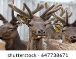 siberian stag  maral   breeding ... | Shutterstock . vector #647738671