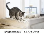 Stock photo cute tabby cat kneading and scratching cushion of cat tower in living room 647752945