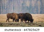 Several Big Aurochs Grazing On...