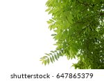 green tree branch isolated   Shutterstock . vector #647865379