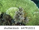 Small photo of Table coral, Acropora hyacinthus, and branching corals, Acropora nobilis, Banta