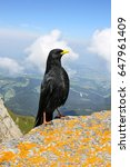 Small photo of Alpine chough (Pyrrhocorax graculus) bird, whose characteristics is glossy black plumage, a yellow beak, red legs, standing on the Alps Pilatus, Switzerland