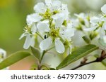 Small photo of White blossoms of Amelanchier canadensis or June berry tree
