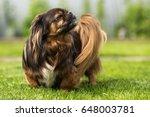 proud tibetan spaniel | Shutterstock . vector #648003781