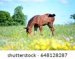 Baby Foal On Meadow