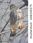 Small photo of Immature Sharp Shinned Hawk (Accipiter striatus) Portrait Orientation