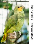 Small photo of The Orange-winged Amazon Or Amazona Amazonica, Also Known Locally As Orange-winged Parrot And Loro Guaro, Is A Large Amazon Parrot. Wild Bird In Cage.