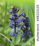 Small photo of Blue bugle (Ajuga reptans). Garden and medicinal plant