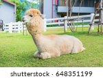 White Llamas Or Alpaca  Vicugn...