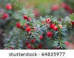 Red Berries On Branches Of...