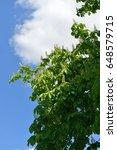 chestnut  castanea  | Shutterstock . vector #648579715