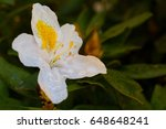 beautiful white rhododendron   Shutterstock . vector #648648241