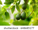 bunch of fresh avocados... | Shutterstock . vector #648685177