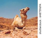 camel in dahab mountains in...   Shutterstock . vector #648759694