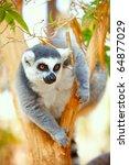 Closeup Portrait Of Lemur Catt...