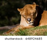 Small photo of Lion Agapornis personata with bees