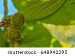 This Roxburgh Fig  Ficus...