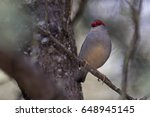 Small photo of Red-browed Finch (Neochmia temporalis). Warrabah National Park, New South Wales, Australia