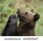brown bear | Shutterstock . vector #649005667
