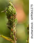 Small photo of Brown orange aphids infesting a green rose stem and small leaf bud. Aphididae family