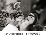 Stock photo cute tabby kitten meeting a duckling black and white image 64909087