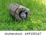 A Gray Gray Rabbit Looks Out O...