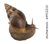 Small photo of Giant African land snail, Achatina fulica, 5 months old, in front of white background