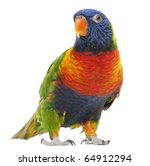 Rainbow Lorikeet  Trichoglossu...