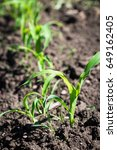 the young shoots of sweet corn  ... | Shutterstock . vector #649162405