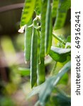 green peas in pods  cultivation ... | Shutterstock . vector #649162441