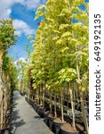 Rows Of Young Maple Trees In...