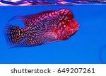 Flower Horn Cichlids Are...