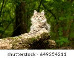 Stock photo siberian cat on the tree outdoor 649254211