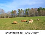 flock of sheep grazing in a green field on a new england farm - stock photo