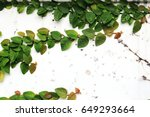the green creeper plant on... | Shutterstock . vector #649293664