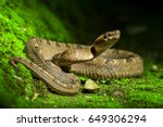 poisonous snake  malayan pit... | Shutterstock . vector #649306294